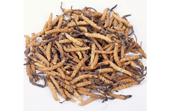 Cordyceps Extract Supplier