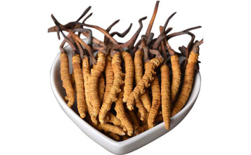 Cordyceps sinensis and extract