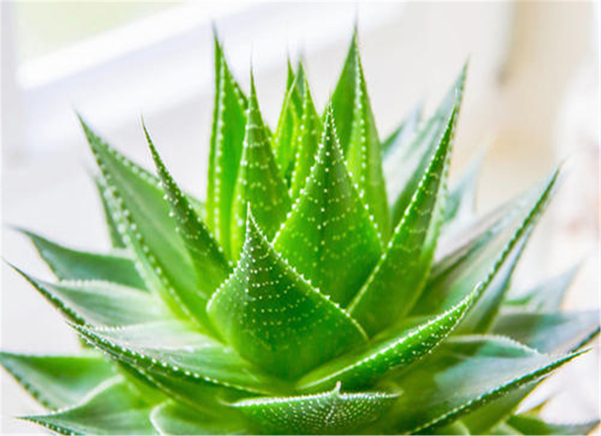 Aloe Barbadensis Leaf Extract Liquid