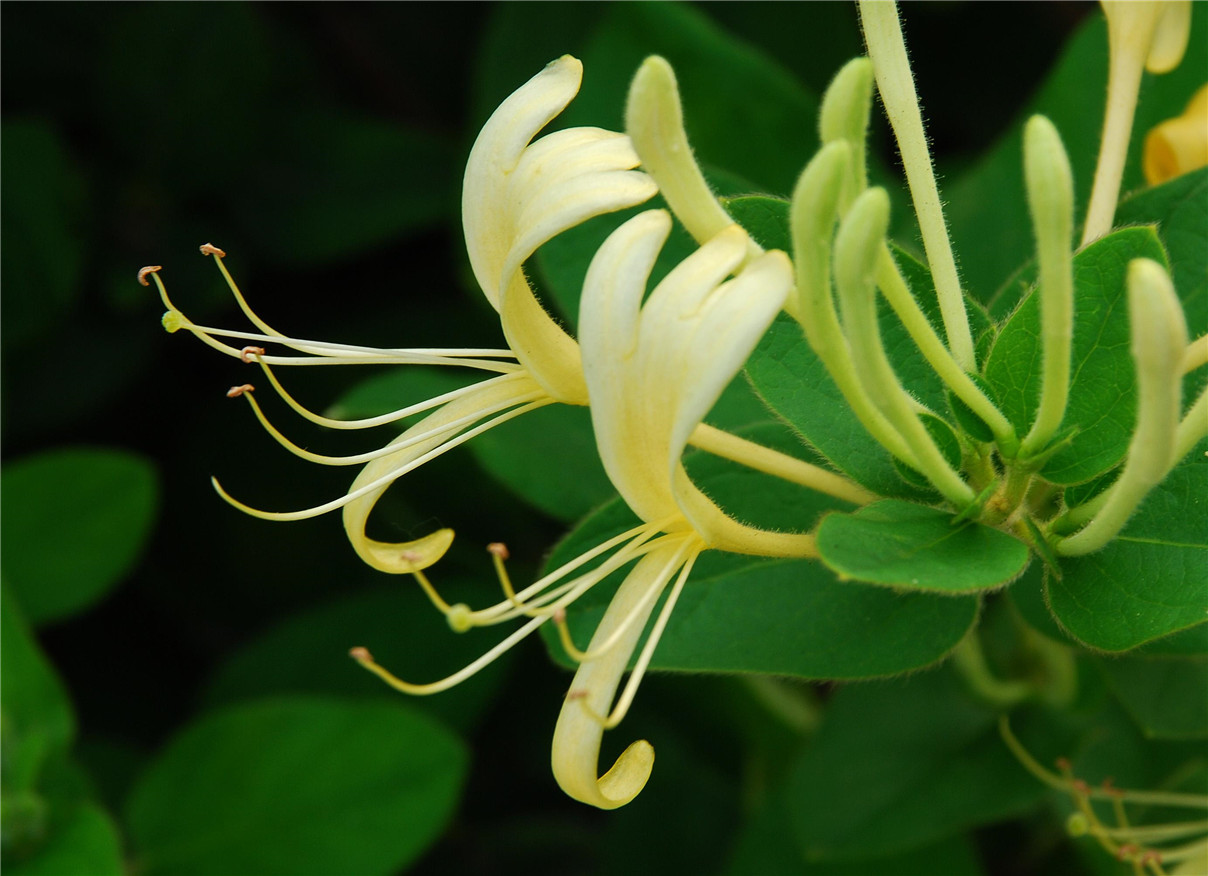 Honeysuckle Flower Extract Liquid